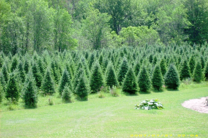 Christmas Tree Producers Part - 40: Our Farm Is Located In Taylor County, WI And Has Been In The McCluskey  Family For Over 100 Years. We Are Members Of The Wisconsin Christmas Tree  Producers ...